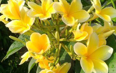 Lord Siwa's Flower in Bali